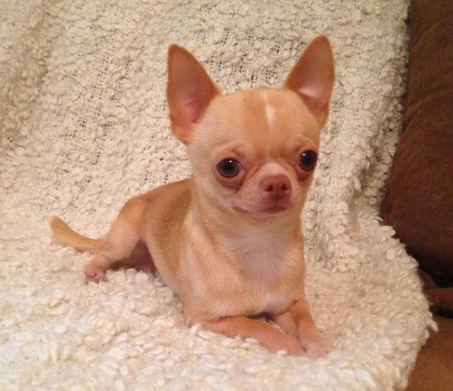 There are different Chihuahuas | cutechihuahua14